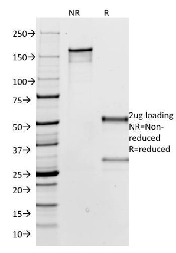 Anti-IgG (Immunoglobulin Gamma Heavy Chain) (B-Cell Marker) Monoclonal Antibody(Clone: IG266)-CF488