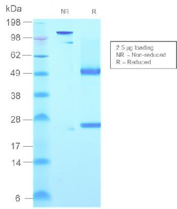 Anti-IgM (Immunoglobulin Mu Heavy Chain) (B-Cell Marker) Monoclonal Antibody(Clone: rIGHM/2558)