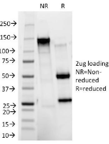Anti-CD11b / MAC-1 (Microglial Marker) Monoclonal Antibody(Clone: ITGAM/271)