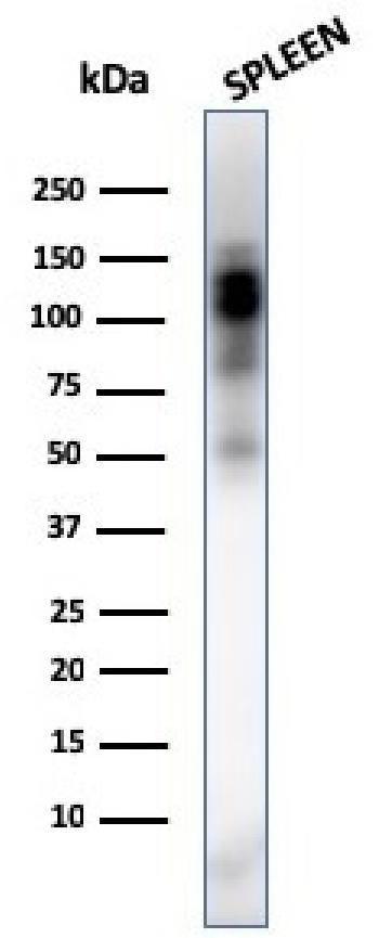 Anti-CD11b / MAC-1 (Microglial Marker) Monoclonal Antibody(Clone: ITGAM/3338)