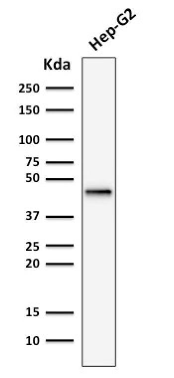 Anti-Cytokeratin 19 (KRT19) (Pancreatic Stem Cell Marker) Monoclonal Antibody(Clone: rKRT19/799)