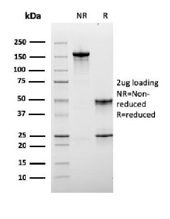 Anti-Lymphocyte Activation Gene 3 (LAG-3) (Negative Checkpoint Regulator) Monoclonal Antibody(Clone: LAG3/3261)