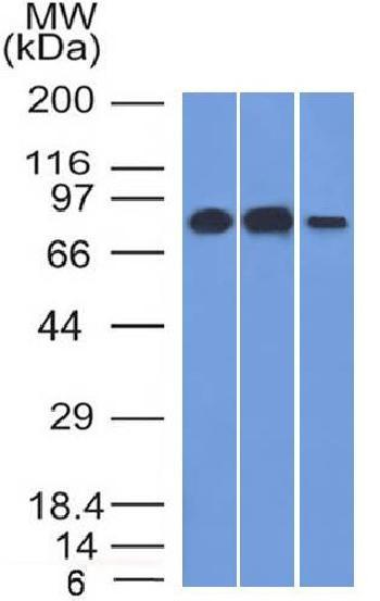Anti-MCM7 (Proliferation Marker) Monoclonal Antibody(Clone: MCM7/1466)