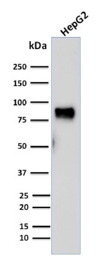 Anti-MDM2 Monoclonal Antibody(Clone: SMP14)