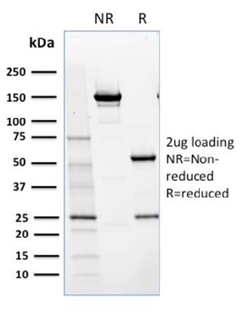 Anti-NRF1 Monoclonal Antibody(Clone: NRF1/2609)