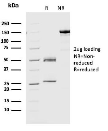 Anti-Geminin / DNA Replication Inhibitor Monoclonal Antibody(Clone: CPTC-GMMN-1)