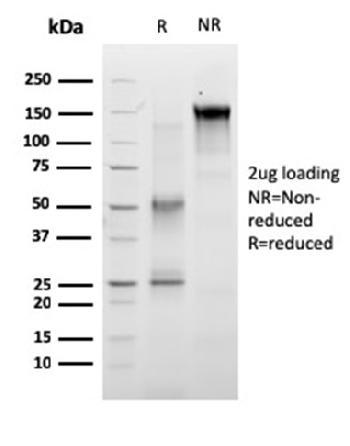 Anti-RET Proto-oncogene Monoclonal Antibody(Clone: RET/2663)