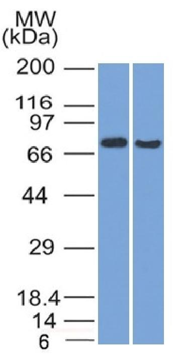 Anti-TCF4 (Transcription Factor 4) Monoclonal Antibody(Clone: TCF4/1705)