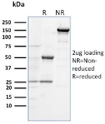 Anti-CD284 (Toll-Like Receptor 4) Monoclonal Antibody(Clone: TLR4/230)