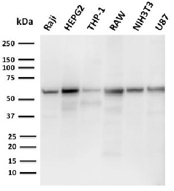 Anti-PD-L2 / PDCD1LG2 / CD273 Monoclonal Antibody(Clone: PDL2/2676)