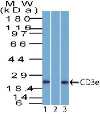 Anti-CD3e (T-Cell Marker) Polyclonal Antibody