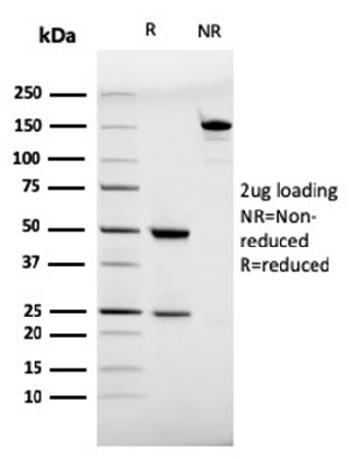 Anti-CD28 Monoclonal Antibody(Clone: C28/75)