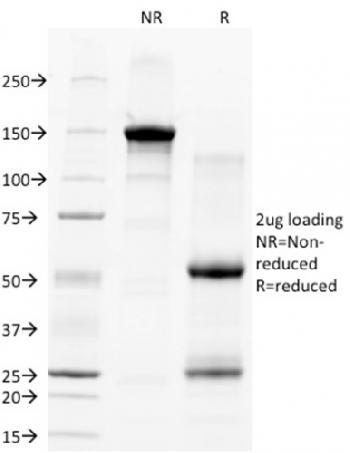 Anti-CD28 Monoclonal Antibody(Clone: C28/77)