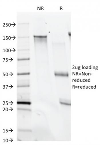 Anti-CD28 Monoclonal Antibody(Clone: C28/74)