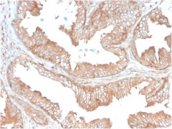 Anti-CD47 / IAP (Integrin Associated Protein) Monoclonal Antibody(Clone: CD47/3019)
