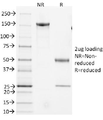 Anti-CD3e, Mouse Monoclonal Antibody(Clone: 145-2C11)