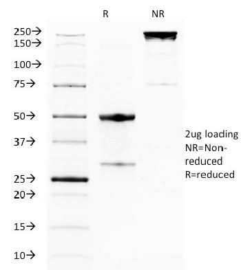 Anti-GITR / Tnfrsf18 (Mouse) Monoclonal Antibody(Clone: DTA-1)