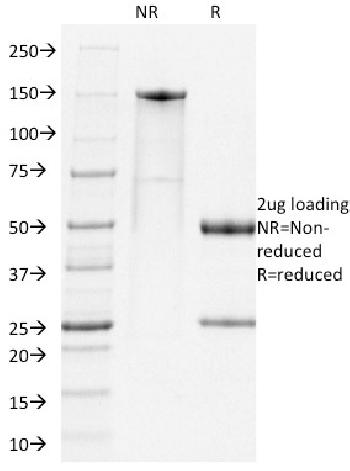 Anti-PD1, Mouse Monoclonal Antibody(Clone: RMP1-14)