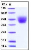 Human CD226 / DNAM-1 Recombinant Protein (His Tag)