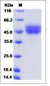 Mouse CD63 / Tspan-30 / Tetraspanin-30 Recombinant Protein (Fc Tag, ECD)
