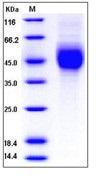 Human 2B4 / SLAMF / CD244 Recombinant Protein (His Tag)