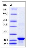 Human BLyS / TNFSF13B / BAFF Recombinant Protein