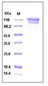 Human CD34 Recombinant Protein (Fc Tag)