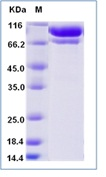 Human C2 / Complement Component 2 Recombinant Protein (His Tag)