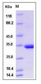 Human MMP-3 Recombinant Protein