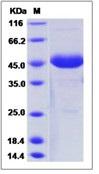 Human FSH alpha / TSH alpha / CGA Recombinant Protein (Fc Tag)