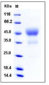 Human CD24 Recombinant Protein (Fc Tag)