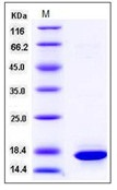 Human / Mouse Histone H3.1 / HIST1H3A / H3FA Recombinant Protein