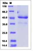 Human ICAM 5 / Intercellular adhesion molecule 5 Recombinant Protein (Fc Tag)