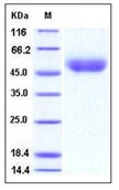 Mouse CD14 Recombinant Protein (His Tag)