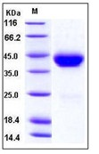 Mouse CD38 Recombinant Protein (His Tag)