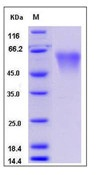 Mouse CD55 / DAF Recombinant Protein (His Tag)