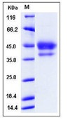 Mouse EGF / Epidermal Growth Factor Recombinant Protein (Fc Tag)