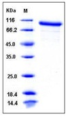 Mouse MMP-9 Recombinant Protein