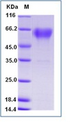 Mouse CD68 Recombinant Protein (His Tag)