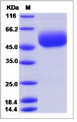 Mouse CD160 Recombinant Protein (Fc Tag)