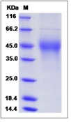 Mouse M-CSF / CSF-1 Recombinant Protein