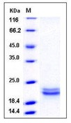Human SCF / C-kit ligand Recombinant Protein (aa 1-189, His Tag)