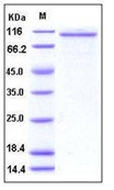 Human Angiopoietin-2 / ANG2 Recombinant Protein (Fc Tag)