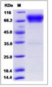 Human B7-H4 / B7S1 / B7x Recombinant Protein (Fc Tag)