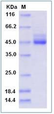Human TIGIT / VSTM3 Recombinant Protein (Fc Tag)