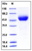 Human SIRP alpha / CD172a Recombinant Protein (His Tag)