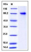 Human PTGS2 / COX2 / PGHS-2 Recombinant Protein (His Tag)