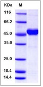 Human MAX / MYC associated factor X Recombinant Protein (His & GST Tag)