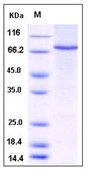 Human STAT4 Recombinant Protein (His Tag)