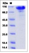 Human PAM / Peptidylglycine alpha-Amidating Monooxygenase Recombinant Protein (Fc Tag)